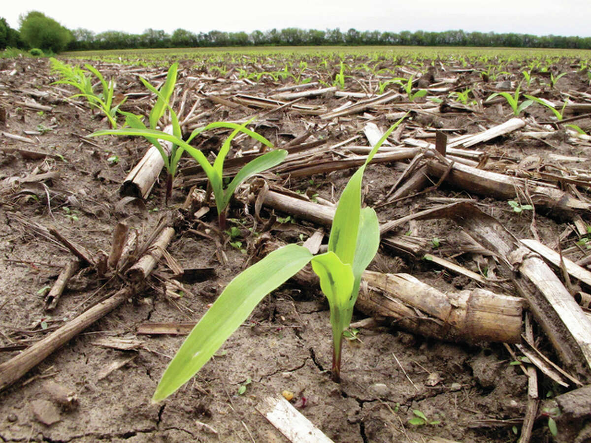David Mercer   AP Recently sprouted corn plants grow in a field in Savoy. A new study from the University of Illinois on the Illinois River has found lower levels of nitrates that wash off of farm fields in recent years. Researchers believe that newer corn varieties that make better use of fertilizers may be leaving less of the chemicals behind to wash away.
