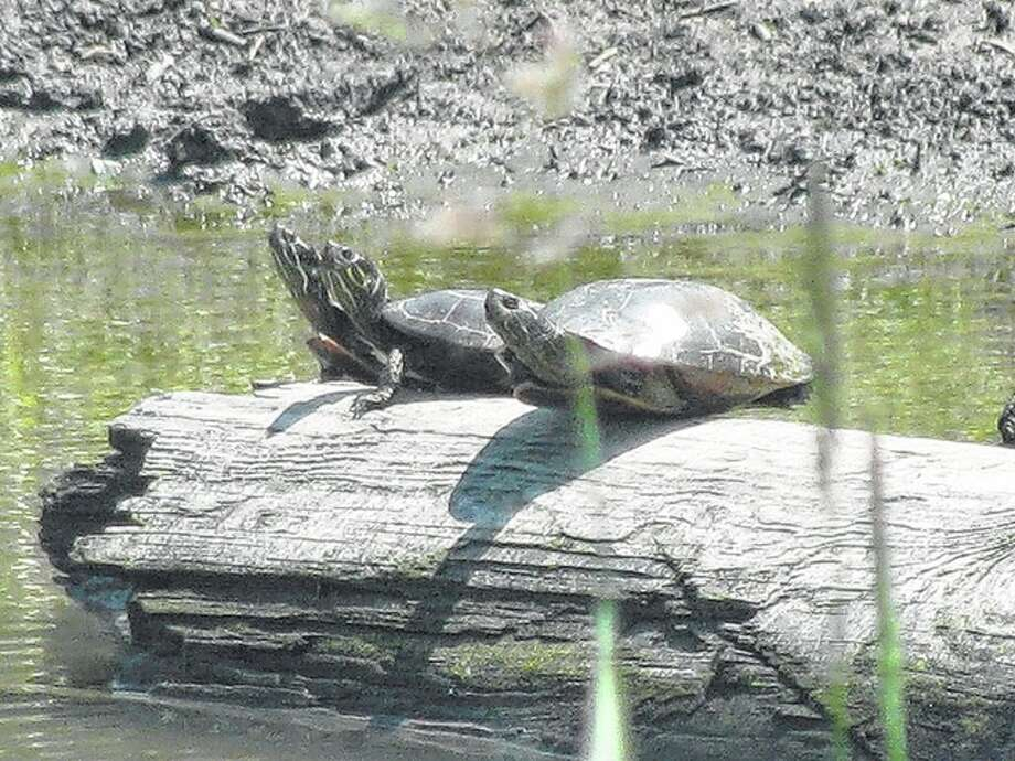 Three turtles enjoy the sunshine from a log in a Greene County pond. Photo: Beverly Watkins | Reader Photo