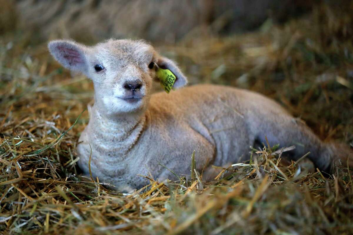 A baby sheep on display in the birthing center in AGventure at the Houston Livestock Show and Rodeo, at NRG Center, Friday, March 10, 2017, in Houston. ( Karen Warren / Houston Chronicle )