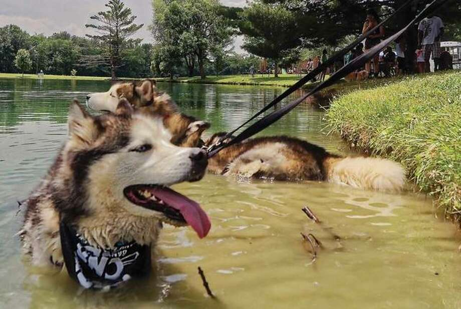 Two Siberian huskies, Nanuk and Tikanni, found the perfect place to cool off Sunday in Glazebrook Park during 5A's Humane Society's annual Bark in the Park event to raise money for the shelter and give local pooches a chance to make new friends. Nanuk and Tikanni are owned by James Agee and his daughter, Skylar. Photo: Nathan Woodside | For The Telegraph