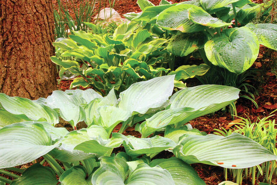 Another Helping Of Hosta Some Ornamentals Are Tasty Jacksonville