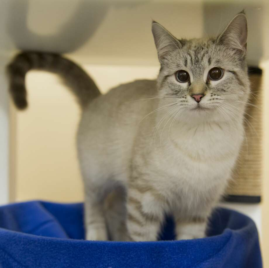 Some of the cats available for adoption 02/09/18 at PetSmart. Tim Fischer/Reporter-Telegram Photo: Tim Fischer/Midland Reporter-Telegram