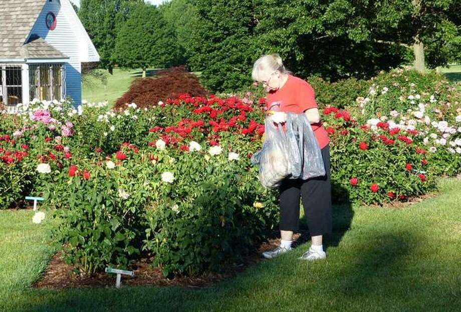 Betsy Knezevich, co-chair of the Beautification Committee of Alton Community Service League, tending the roses in the Nan Elliott Rose Garden in Gordon F. Moore Community Park.