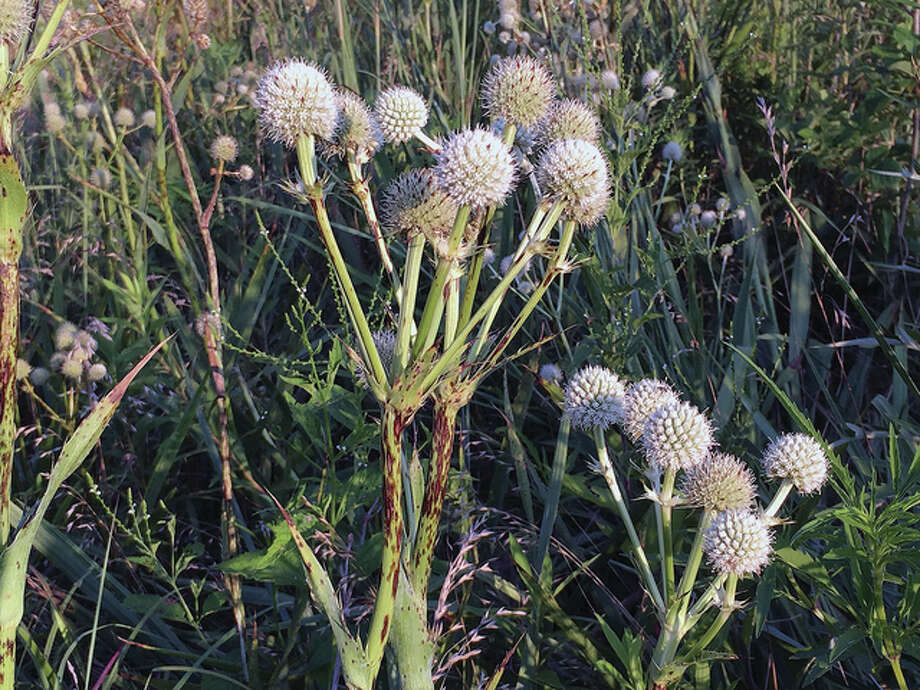 A clump of rattlesnake master (Eryngium yuccifolium) grows in Greene County. The plant is a member of the carrot family that gets its name from the erroneous belief by pioneers that the roots were an antidote to rattlesnake bites. The seedheads of the plant were dried by American Indians and used as rattles. Photo: Amy Turpin | Reader Photo