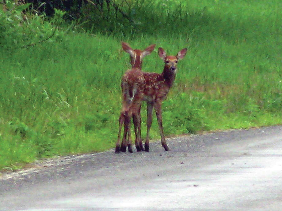 Two fawns make their way back to their mother, who was heading into foliage near White Hall. Photo: Beverly Watkins | Reader Photo