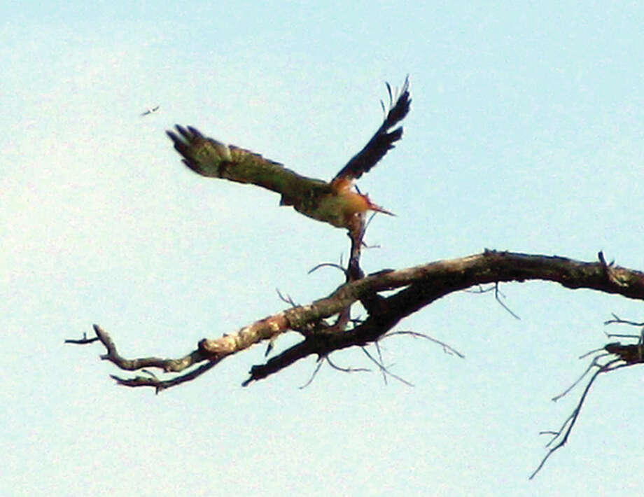 A hawk takes off from the branch of a tree in rural Greene County.