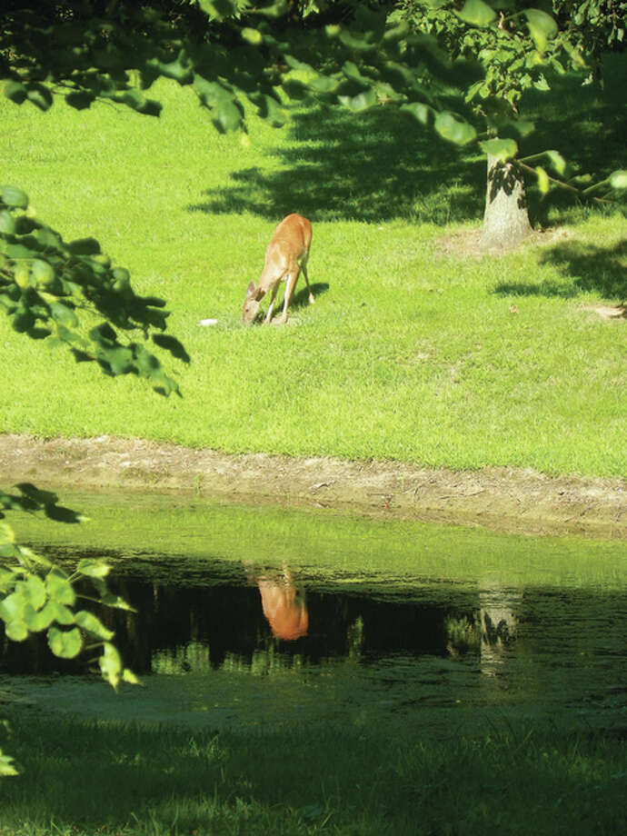 A doe grazing in the sunshine stops to admire its reflection in a pond. Photo: Dianne Dooley | Reader Photo