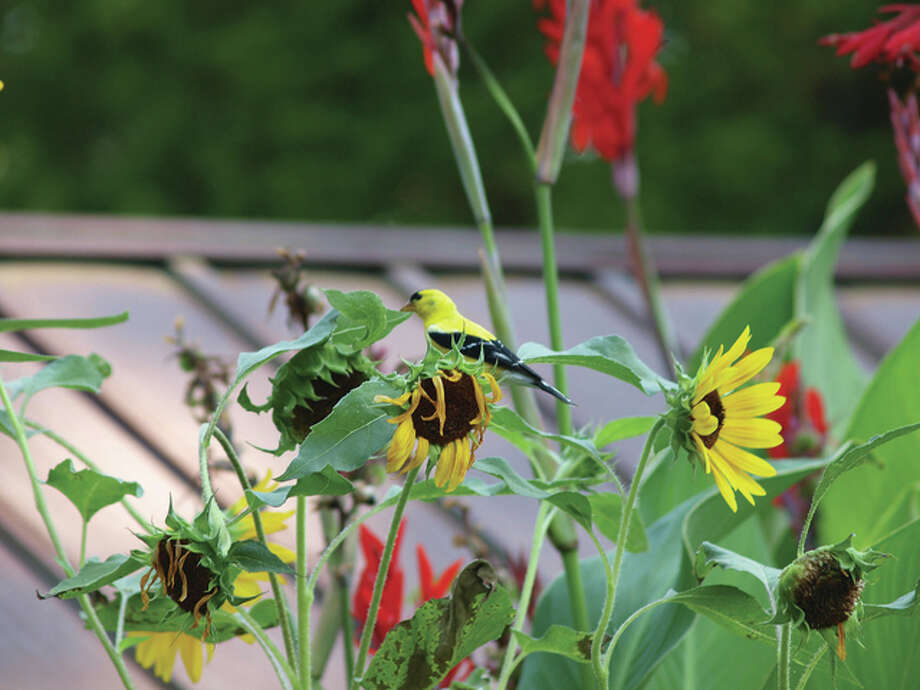 A goldfinch blends in with the sunflowers along a road. Photo: David Chamberlain | Reader Photo