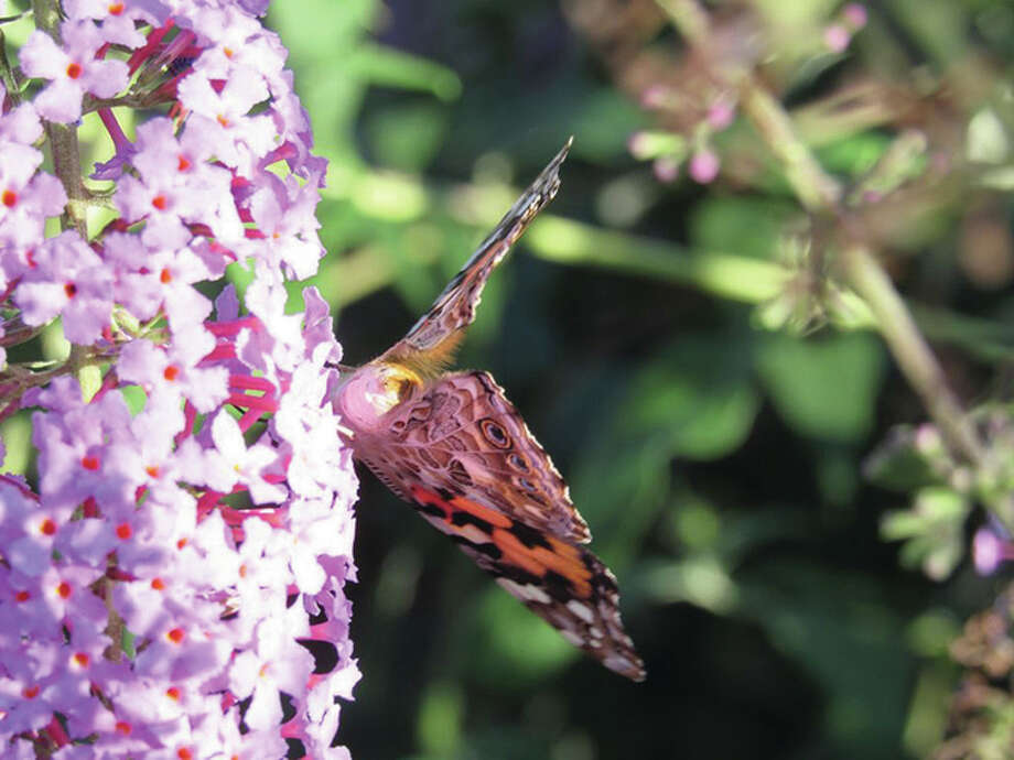 A butterfly spends time on a colorful bloom of flowers. Photo: Larry Speakman | Reader Photo