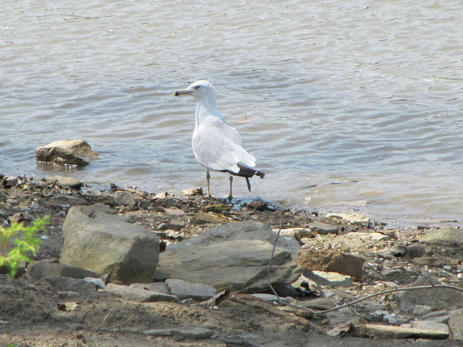 A gull walks along the bank of the Illinois River near Evandy's Boatel in Naples.