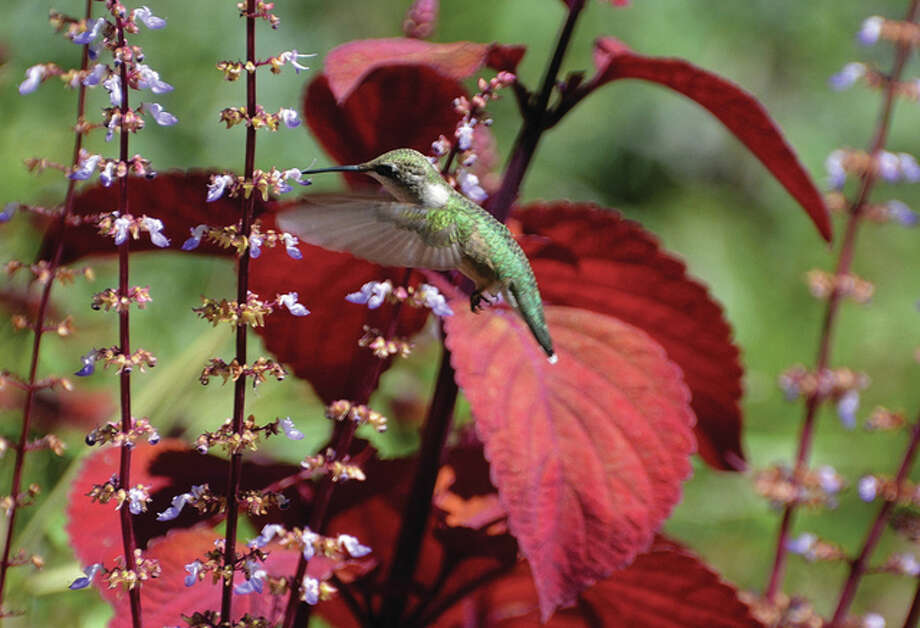 A hummingbird is captured in flight as it searches for nectar. Photo: Jeff Ruzicka | Reader Photo
