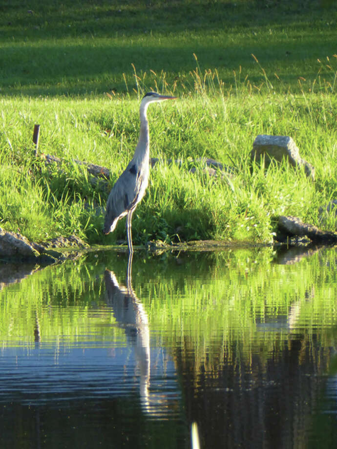 A blue heron enjoys the evening light at Nichols Park. Photo: Almut Spalding | Reader Photo