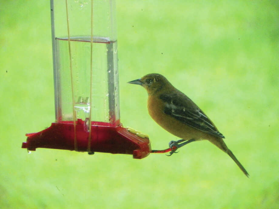 A female oriole sneaks a meal from a hummingbird feeder. Photo: Dianne Dooley | Reader Photo