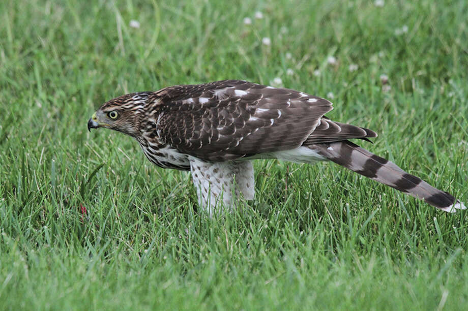 A Cooper's hawk scrounges for food in a field north of Jacksonville. Photo: Colin Dobson | Reader Photo