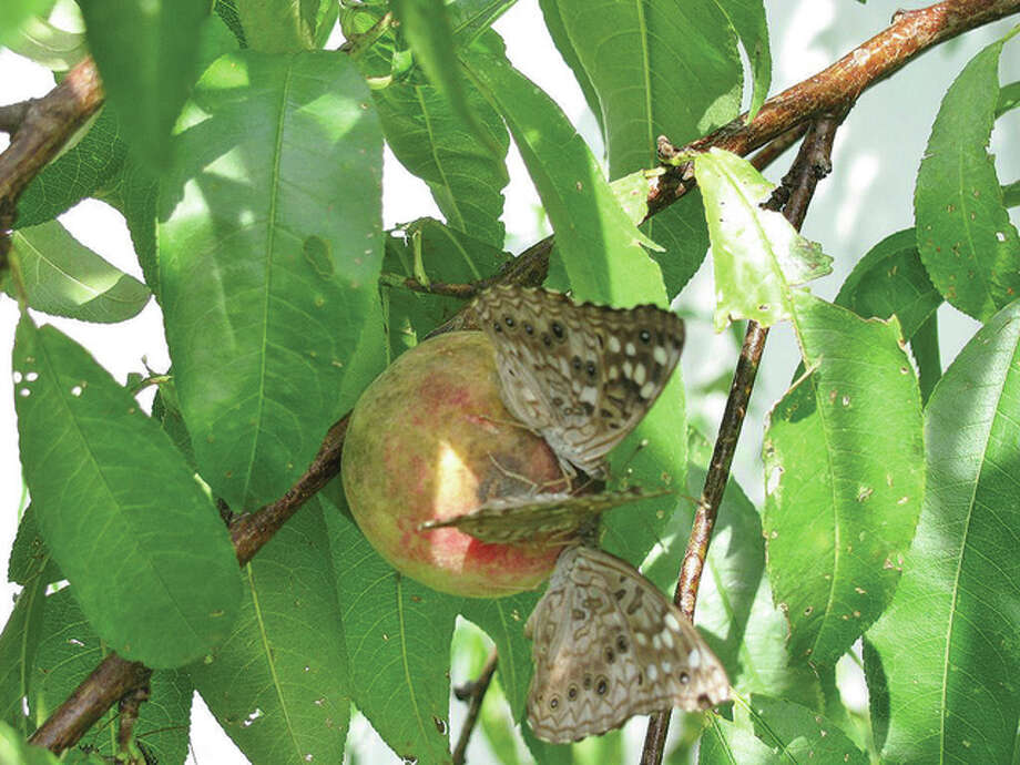 Moths get nectar from a peach on a tree in Scottville. Photo: Beverly Watkins | Reader Photo
