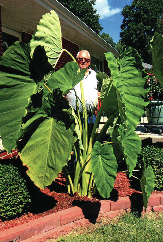 Gerald Eddy stands amid the elephant ear plants in his Terry Drive yard, which have grown to more than 7 feet tall. Although the plants — so named because their large leaves resemble the drooping ears of an elephant — can reach heights of up to 9 feet, Eddy says these are the tallest he has seen. Photo: Gerald Eddy | Reader Photo