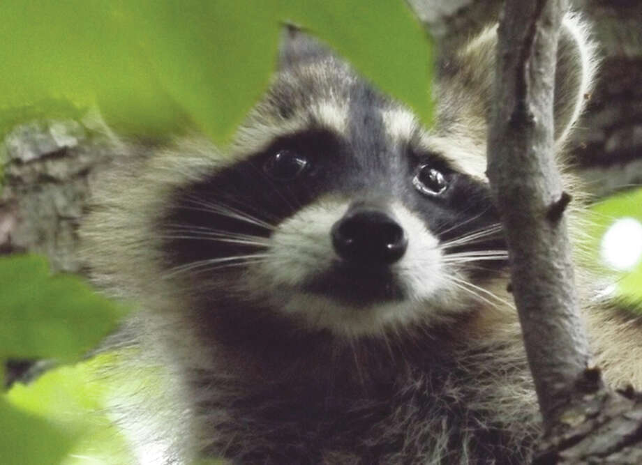 A raccoon peeks out from behind the branches of a tree at Illinois College. Photo: Tonda Stouffe | Reader Photo