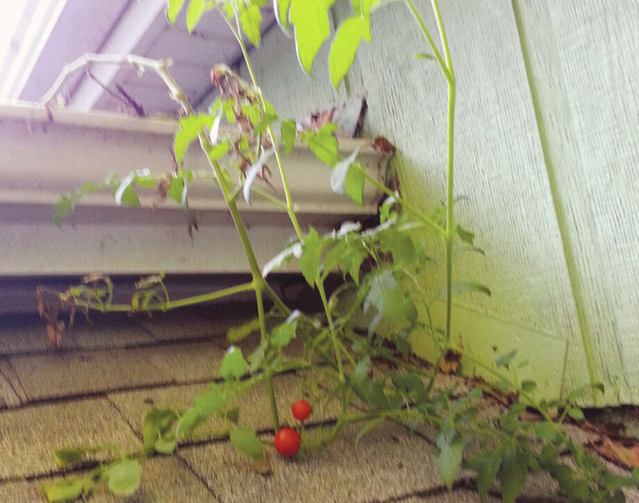A tomato plant grows out of a gutter at Emajean Stout's house in Jacksonville.