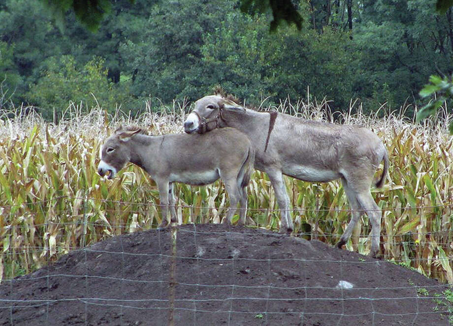 A donkey and her colt play around a mound in Athensville. Photo: Beverly Watkins | Reader Photo