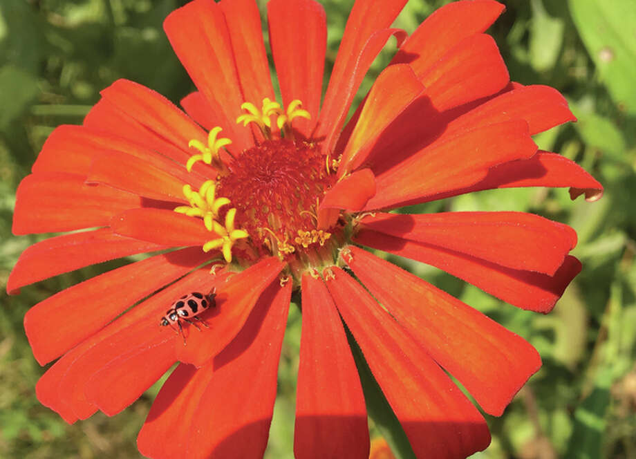 A ladybug enjoys the day, sitting on a zinnia. Photo: Joy Harris | Reader Photo