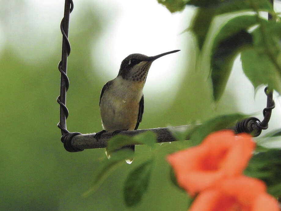 A hummingbird takes a break on a swing near Waverly. Photo: Kathy Caruthers | Reader Photo