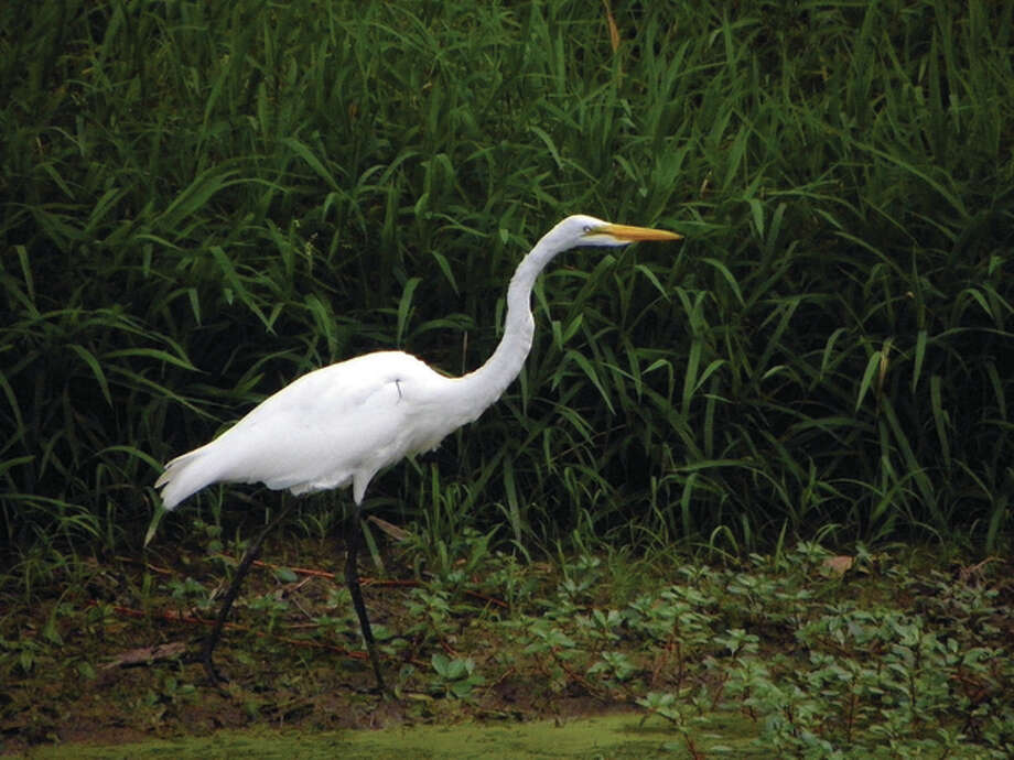 A snowy egret spends time walking along the banks of a lake. Photo: Dianne Dooley | Reader Photo