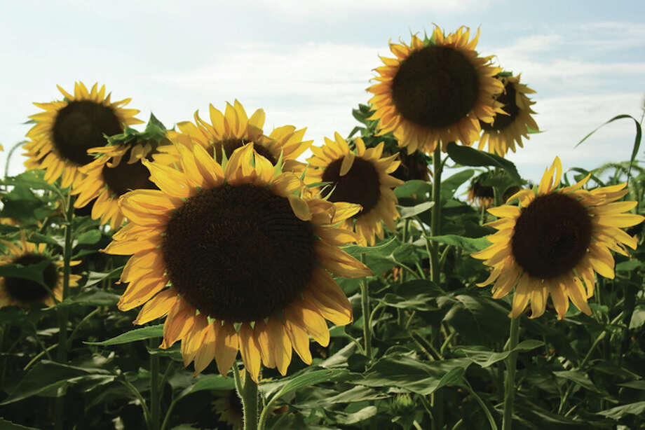 Sunflowers fill a field near Waverly. Photo: Kathy Caruthers | Reader Photo