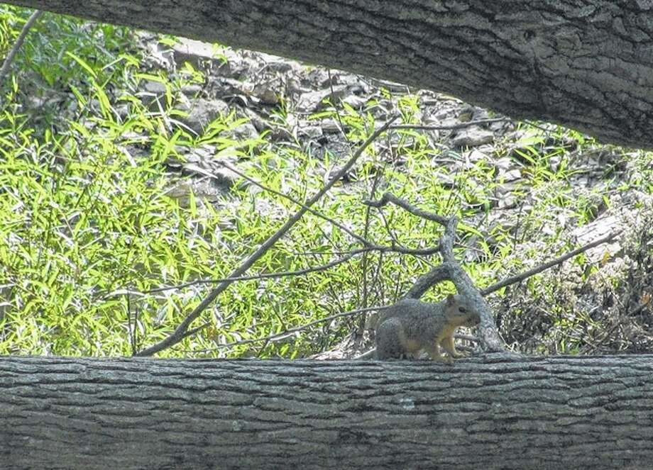 A squirrel sits on top of a tree that fell across a creek in rural Greene County.