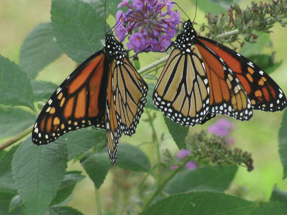 Two monarchs enjoy a butterfly bush in Scottville. Photo: Beverly Watkins | Reader Photo