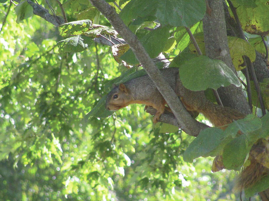 A squirrel finds a perfect vantage point in a redbud tree in Scottville. Photo: Beverly Watkins | Reader Photo