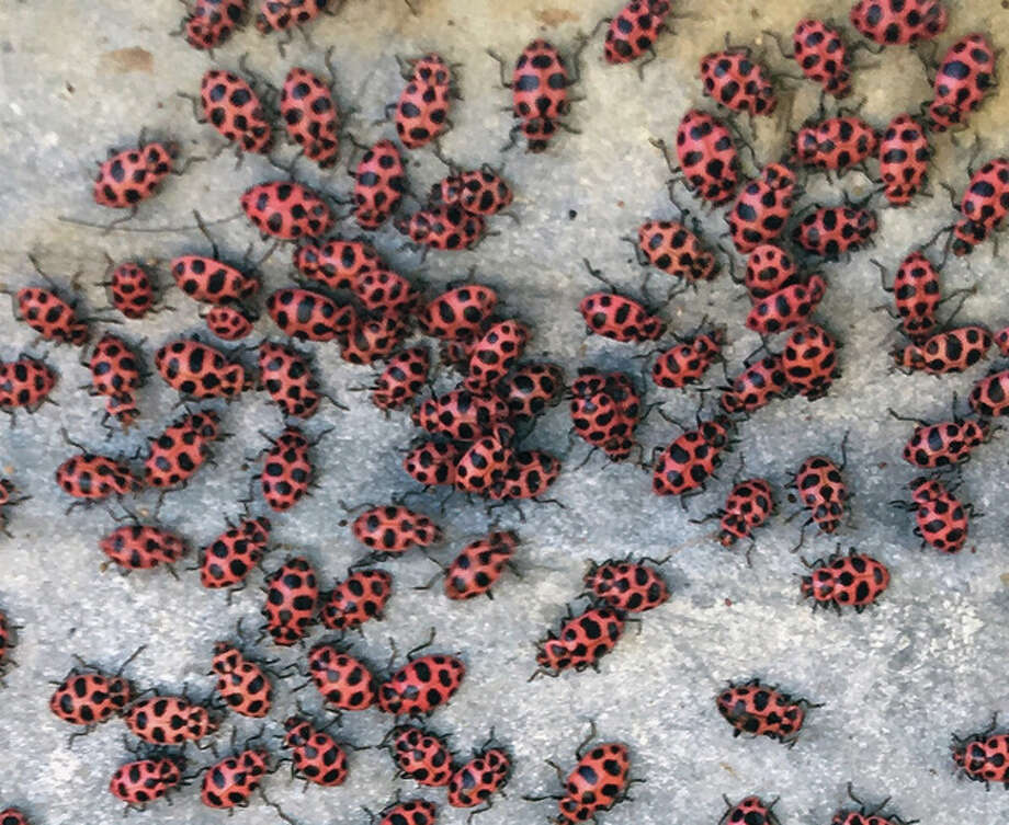 A clump of ladybugs gathers on a walkway. Many cultures consider the insects — part of the beetle family — good luck. They also eat aphids and other pests that feed on plants. Photo: Joy Harris | Reader Photo