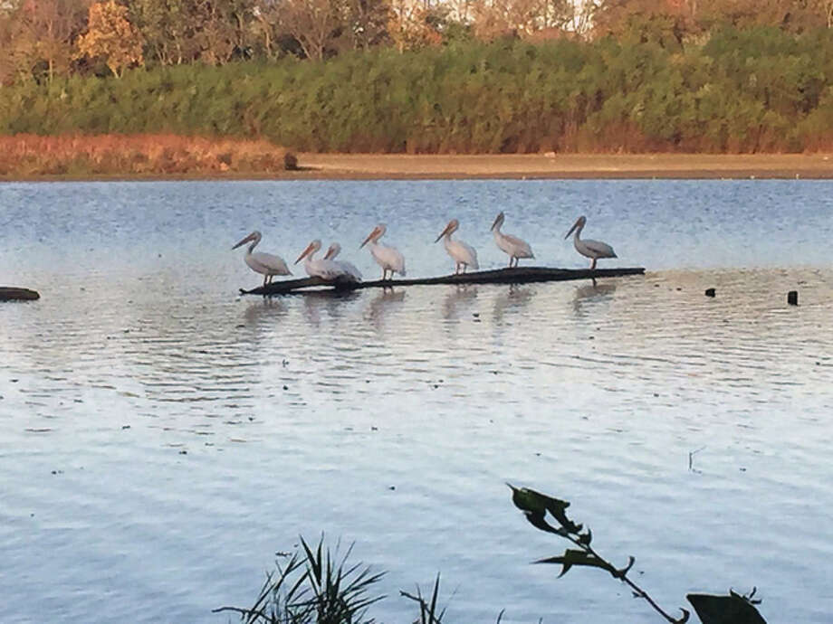 Several white pelicans line up briefly at Lake Mauvaisterre.