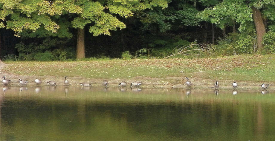 Geese form an orderly line, waiting patiently for their photo to be taken. Photo: Dianne Dooley | Reader Photo