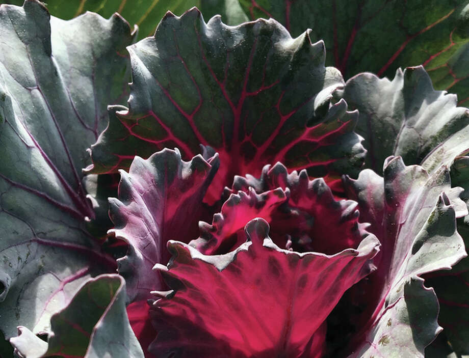 The deep purple coloring of flowering kale brightens a garden. Flowering kale is a cool-season plant that usually starts to emerge once the night temperatures dip below the 50s for an extended period. Photo: Joy Harris | Reader Photo