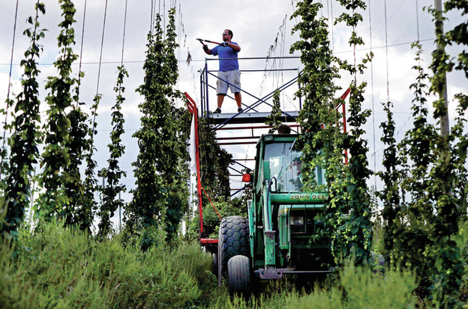 Peter Busque cuts hops from tall trellises in September during the harvest at the Hamblen Farm in Gorham, Maine. Hop growers, once located exclusively in the Pacific Northwest, are branching out to nontraditional states such as Maine. Photo: Robert F. Bukaty | Associated Press