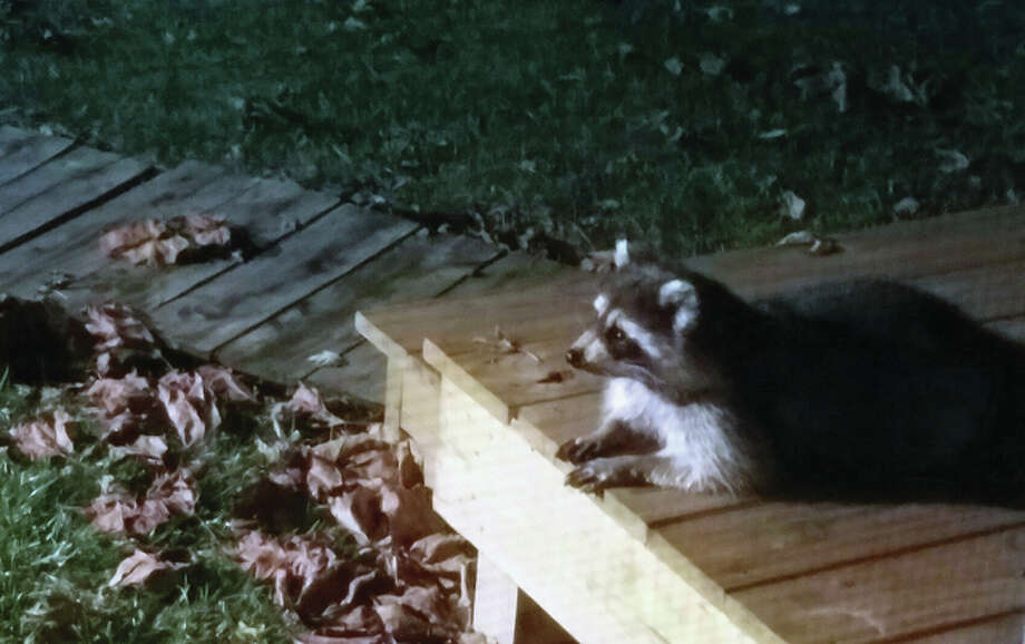 A raccoon makes itself at home on the porch of a house in Prentice. Photo: Claude D'Camp | Reader Photo