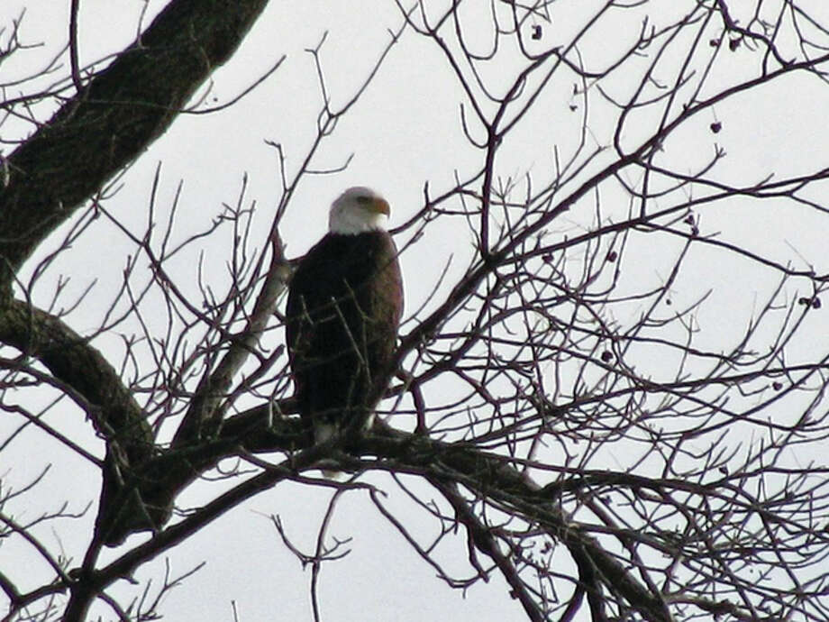 An eagle keeps watch from its perch in a tree east of White Hall. Photo: Beverly Watkins | Reader Photo