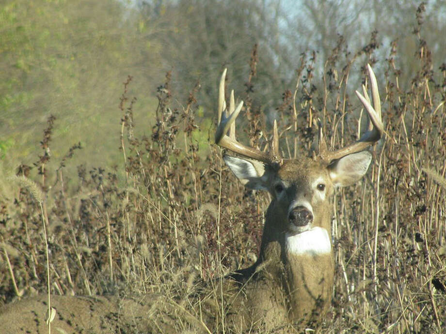 A buck peers up from the tall grass on the side of a road in rural Greene County.