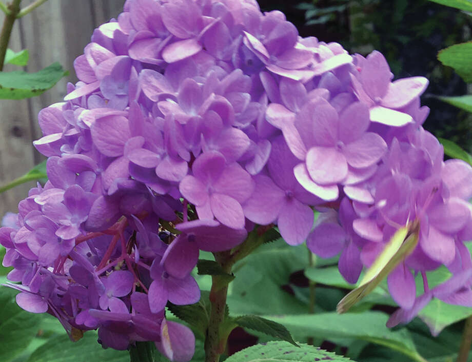 Purple and blue hydrangea hang on against the changing seasonal elements in South Jacksonville. Photo: Joy Harris | Reader Photo