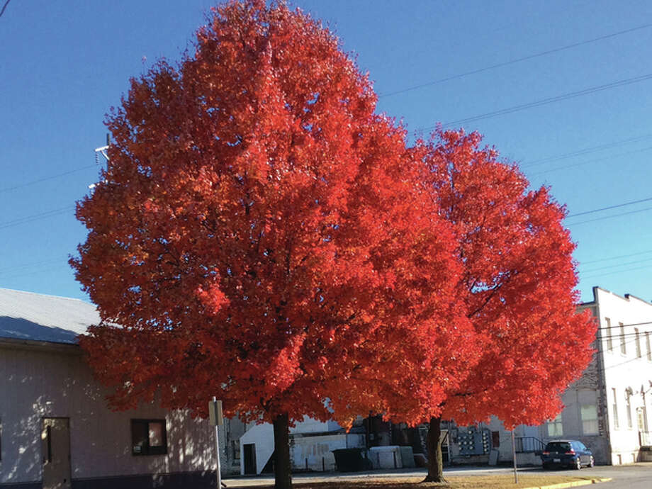 A pair of maple trees in Beardstown provide a late-season spread of color. Photo: Judy Thomas | Reader Photo