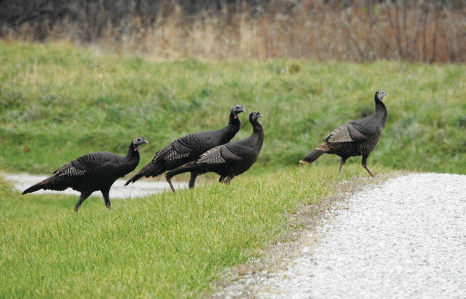 A trail of turkeys takes a stroll across the road in Morgan County. Photo: Kathy Caruthers | Reader Photo