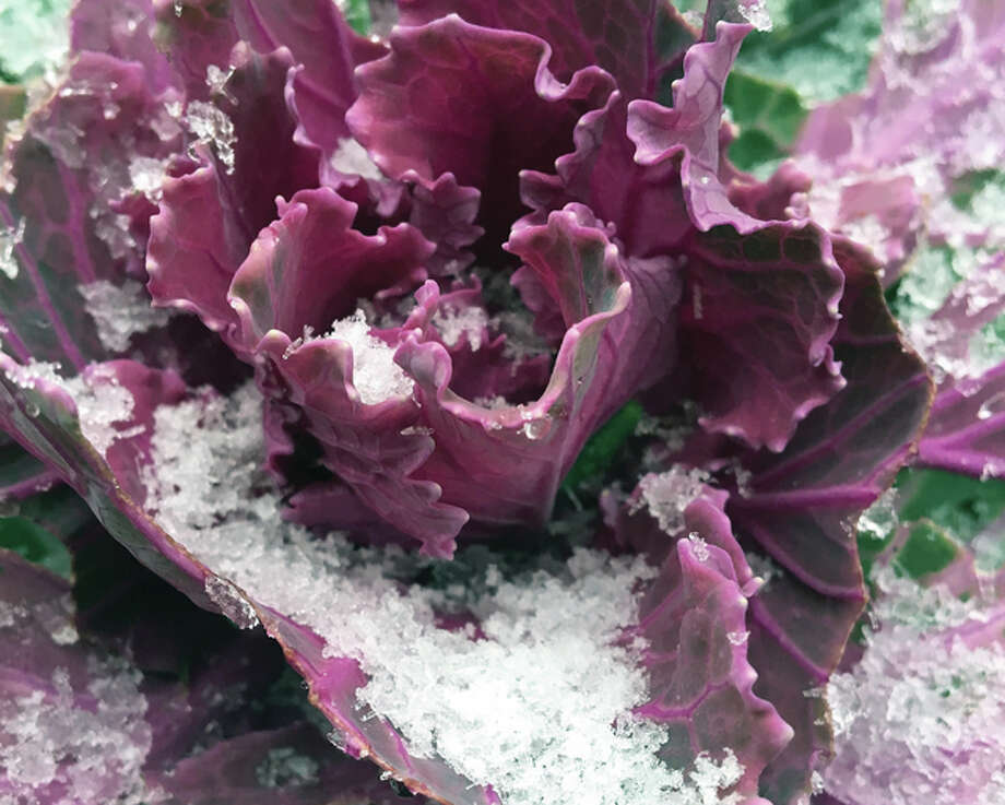 The first snow of the season starts collecting on a flowering kale.