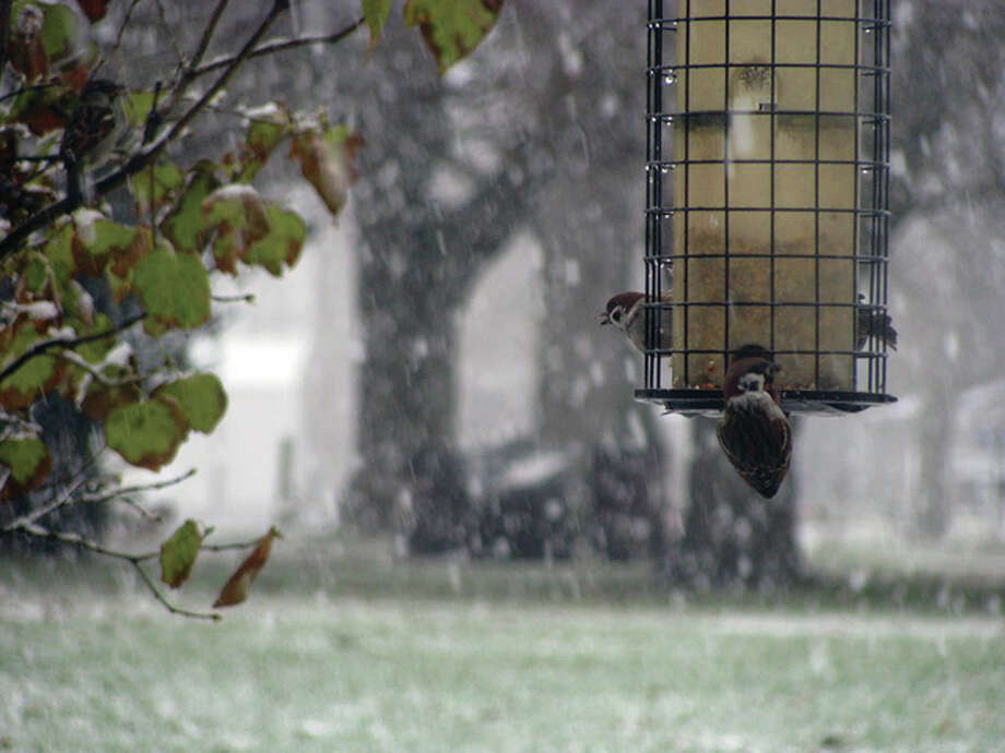 Sparrows take in some food on a snowy day. Photo: Beverly Watkins | Reader Photo