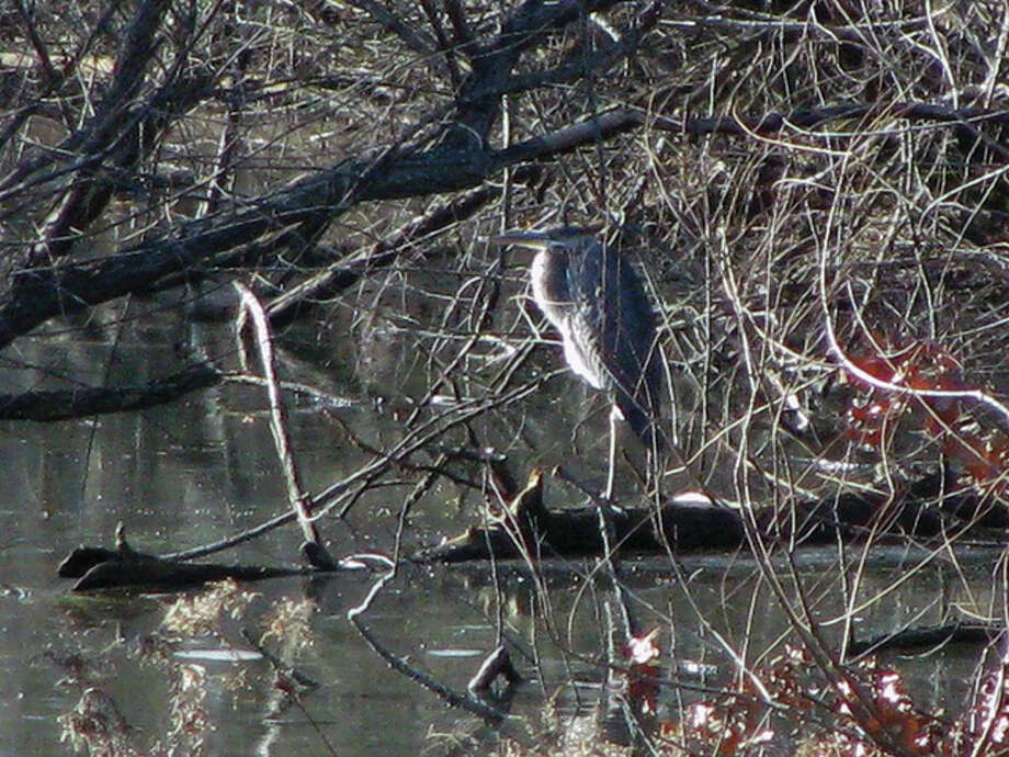 A blue heron blends into the surroundings of a pond at a farm in rural Greene County. Photo: Beverly Watkins | Reader Photo