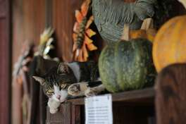 One of the resident cats catches a nap among the squash at Jack Creek Farms Country Store on Highway 46 in near Paso Robles.
