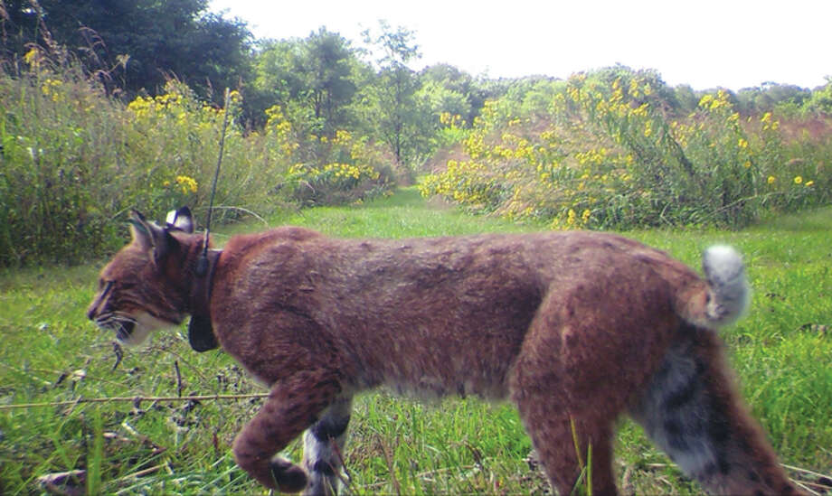A game camera catches sight of a bobcat that has been collared for tracking.