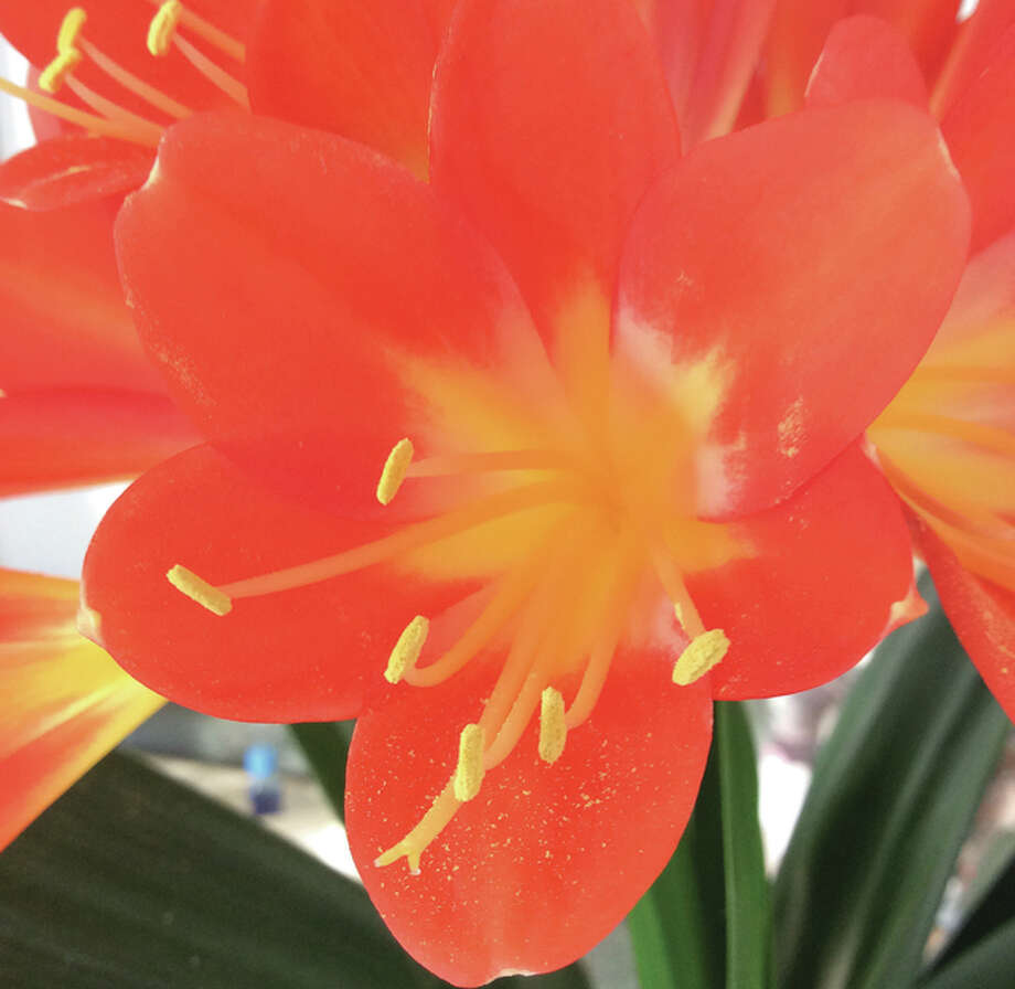 A blooming Clivia plant provides a welcome sight in the middle of winter.