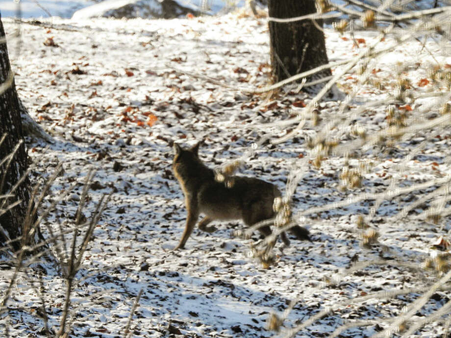 A coyote passes through a yard near Waverly, possibly in search of a meal.