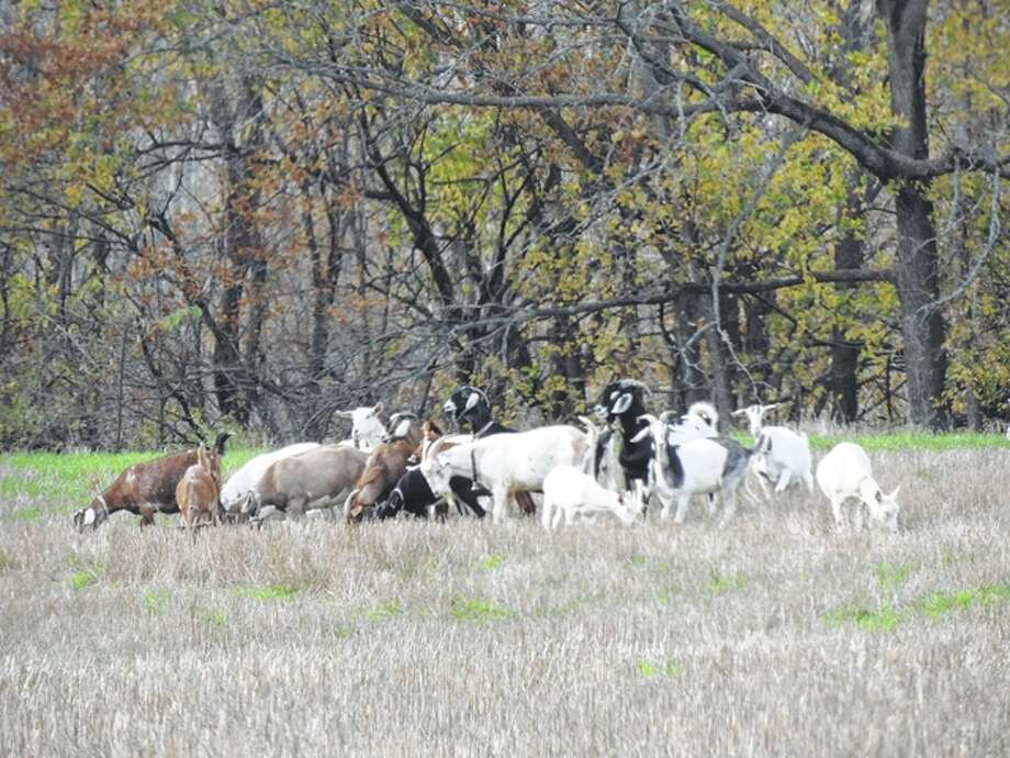 A tribe of goats with bells on their necks play near Waverly.