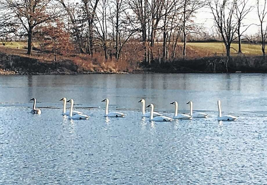 Trumpeter swans stop to enjoy Greenfield Rives Lake on their southern journey for winter.